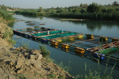 Fish farming on the same canal where the kids are swimming